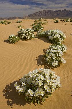 Evening Primrose (Oenothera sp) flowers in desert, Joshua Tree National Park, California  -  Tom Vezo