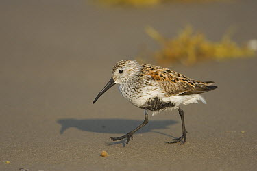 Dunlin (Calidris alpina), Rio Grande Valley, Texas  -  Tom Vezo