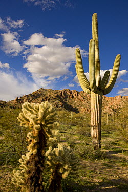 Saguaro (Carnegiea gigantea) cactus in desert, Arizona  -  Tom Vezo