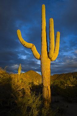 Saguaro (Carnegiea gigantea) cactus, Arizona  -  Tom Vezo