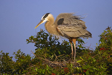 Great Blue Heron (Ardea herodias) on nest, Venice Rookery, Florida  -  Tom Vezo