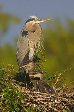 Great Blue Heron (Ardea herodias) parent in nest with chicks, Venice Rookery, Florida  -  Tom Vezo