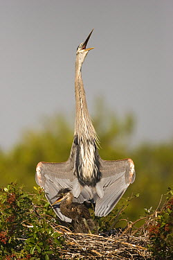 Great Blue Heron (Ardea herodias) parent displaying to protect chick in nest, Venice Rookery, Florida  -  Tom Vezo