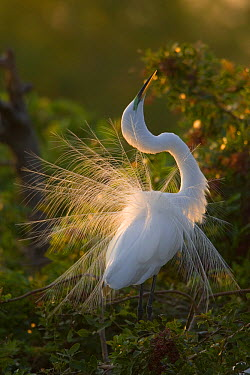 Great Egret (Ardea alba) displaying during courtship in breeding plumage, Florida  -  Tom Vezo