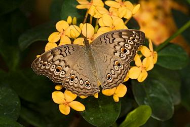 Grey Pansy (Junonia atlites) butterfly, Tucson Botanical Gardens, Tucson, Arizona  -  Tom Vezo