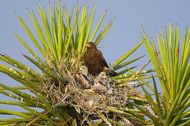 Harris' Hawk (Parabuteo unicinctus) parent in nest with chicks, Texas  -  Tom Vezo