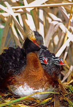 Horned Grebe (Podiceps auritus) male with chicks on nest, Saskatchewan, Canada  -  Tom Vezo