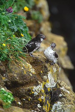 Least Auklet (Aethia pusilla) pair, Saint Paul Island, Pribilof Islands, Alaska  -  Tom Vezo
