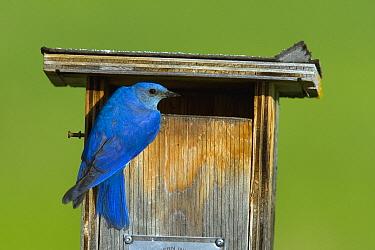 Mountain Bluebird (Sialia currucoides) male at nest box, British Columbia, Canada  -  Tom Vezo