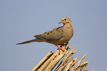 Mourning Dove (Streptopelia decipiens), Green Valley, Arizona  -  Tom Vezo