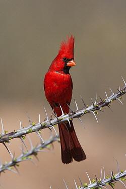 Northern Cardinal (Cardinalis cardinalis) male, Green Valley, Arizona  -  Tom Vezo