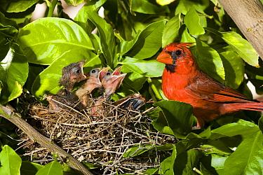 Northern Cardinal (Cardinalis cardinalis) father and chicks in nest, Green Valley, Arizona  -  Tom Vezo