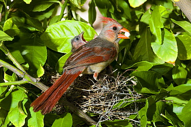 Northern Cardinal (Cardinalis cardinalis) female removing fecal sac from nest near chicks, Green Valley, Arizona  -  Tom Vezo