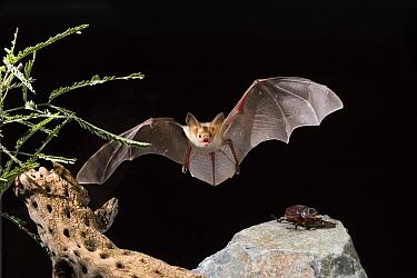 Pallid Bat (Antrozous pallidus) approaching beetle prey, Green Valley, Arizona  -  Tom Vezo