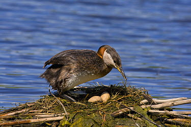 Red-necked Grebe (Podiceps grisegena) at nest with eggs, British Columbia, Canada  -  Tom Vezo