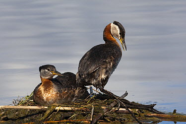 Red-necked Grebe (Podiceps grisegena) pair at nest, British Columbia, Canada  -  Tom Vezo