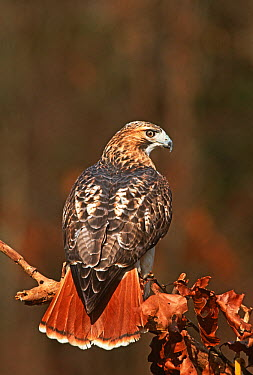 Red-tailed Hawk (Buteo jamaicensis) at a raptor rehabilitation center, New York  -  Tom Vezo