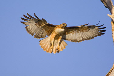 Red-tailed Hawk (Buteo jamaicensis) flying, Arizona  -  Tom Vezo