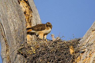 Red-tailed Hawk (Buteo jamaicensis) parent at nest with chicks, Arizona  -  Tom Vezo