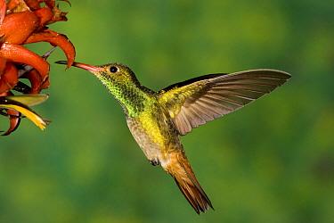 Rufous Hummingbird (Selasphorus rufus) feeding on flower nectar, North America  -  Tom Vezo