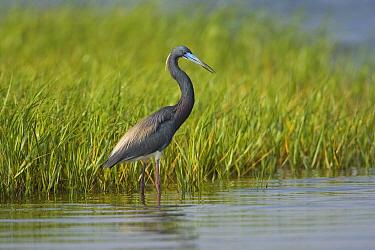 Tricolored Heron (Egretta tricolor) wading, Rio Grande Valley, Texas  -  Tom Vezo
