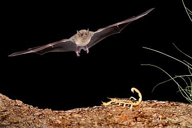 Lesser Long-nosed Bat (Leptonycteris yerbabuenae) approaching scorpion prey, southern Arizona  -  Tom Vezo
