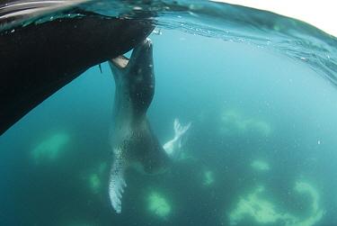 Leopard Seal (Hydrurga leptonyx) biting inflatable boat, Antarctic Peninsula, Antarctica  -  Norbert Wu