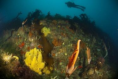 Antarctic Sun Starfish (Labidiaster annulatus), Hydrozoan (Candelabrum penola), and Sponge (Mycale acerata) below kelp forest, Palmer Station, Antarctic Peninsula, Antarctica  -  Norbert Wu