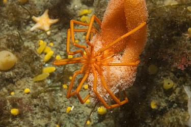 Sea Spider (Pycnogonidae), Palmer Station, Antarctic Peninsula, Antarctica  -  Norbert Wu
