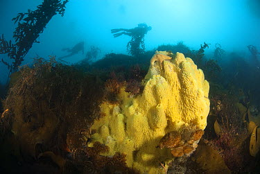 Sponge (Mycale acerata) and kelp forest, Palmer Station, Antarctic Peninsula, Antarctica  -  Norbert Wu