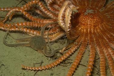 Brittle Star (Ophionotus victoriae) trying to defend itself against Antarctic Sun Starfish (Labidiaster annulatus), Palmer Station, Antarctic Peninsula, Antarctica  -  Norbert Wu