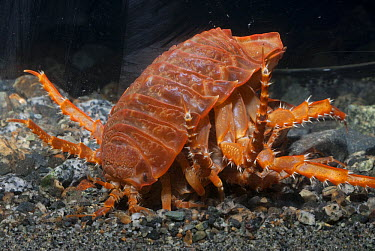Giant Antarctic Isopod (Glyptonotus antarcticus), Palmer Station, Antarctic Peninsula, Antarctica  -  Norbert Wu