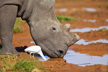White Rhinoceros (Ceratotherium simum) and Cattle Egret (Bubulcus ibis) drinking, Rietvlei Nature Reserve, Gauteng, South Africa  -  Richard Du Toit