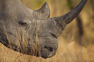 White Rhinoceros (Ceratotherium simum), Sabi Sands Game Reserve, Mpumalanga, South Africa  -  Richard Du Toit