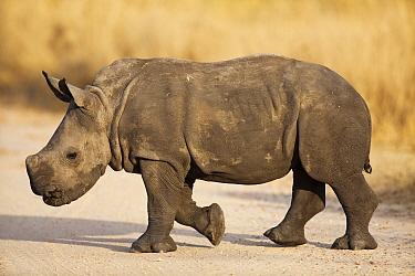 White Rhinoceros (Ceratotherium simum) calf, Sabi Sands Game Reserve, Mpumalanga, South Africa  -  Richard Du Toit