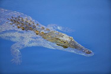 Nile Crocodile (Crocodylus niloticus) floating on water surface, Mpumalanga, South Africa  -  Richard Du Toit