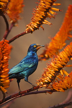 Greater Blue-eared Glossy-Starling (Lamprotornis chalybaeus) on aloe, Mpumalanga, South Africa  -  Richard Du Toit