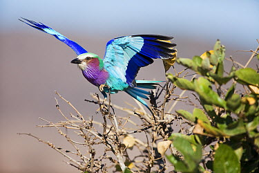 Lilac-breasted Roller (Coracias caudata) landing, Limpopo, South Africa  -  Richard Du Toit