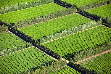 Orchards and tree wind breaks, Western Cape, South Africa  -  Richard Du Toit