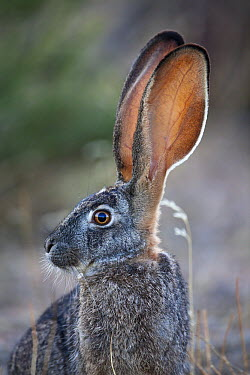 Scrub Hare (Lepus saxatilis), Northern Cape, South Africa  -  Richard Du Toit