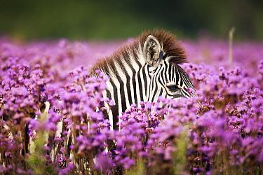 Burchell's Zebra (Equus burchellii) amongst Pompom Weed (Campuloclinium macrocephalum) flowers, Rietvlei Nature Reserve, Gauteng, South Africa  -  Richard Du Toit