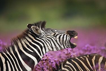 Burchell's Zebra (Equus burchellii) male smelling female amongst Pompom Weed (Campuloclinium macrocephalum), Rietvlei Nature Reserve, Gauteng, South Africa  -  Richard Du Toit