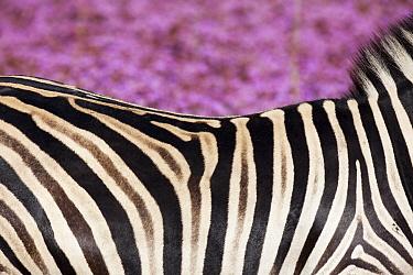 Burchell's Zebra (Equus burchellii) amongst Pompom Weed (Campuloclinium macrocephalum), Rietvlei Nature Reserve, Gauteng, South Africa  -  Richard Du Toit