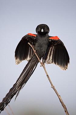 Long-tailed Widow (Euplectes progne) male displaying showing long tail feathers, Marievale Bird Sanctuary, Gauteng, South Africa  -  Richard Du Toit