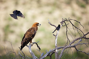 Tawny Eagle (Aquila rapax) mobbed by Fork-tailed Drongos (Dicrurus adsimilis), Kgalagadi Transfrontier Park, South Africa  -  Richard Du Toit