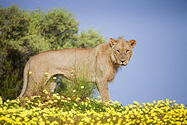 African Lion (Panthera leo) male standing in Yellow Vine (Tribulus terrestris) flowers, Kgalagadi Transfrontier Park, South Africa  -  Richard Du Toit