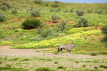 Gemsbok (Oryx gazella) and Yellow Vine (Tribulus terrestris) flowers, Kgalagadi Transfrontier Park, Botswana  -  Richard Du Toit