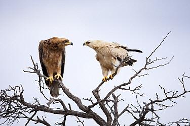 Tawny Eagle (Aquila rapax) brown and white morph, Kgalagadi Transfrontier Park, Botswana  -  Richard Du Toit
