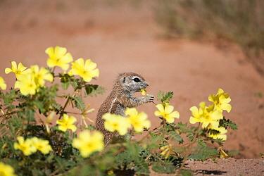 Cape Ground Squirrel (Xerus inauris) feeding on Yellow Vine (Tribulus terrestris) flowers, Kgalagadi Transfrontier Park, Botswana  -  Richard Du Toit