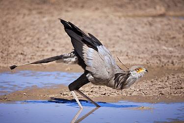Secretary Bird (Sagittarius serpentarius) drinking, Kgalagadi Transfrontier Park, Botswana  -  Richard Du Toit